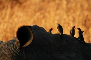 Oxpecker on rhinoceros