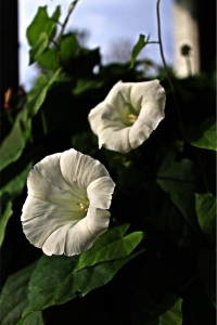 Bindweed blooming