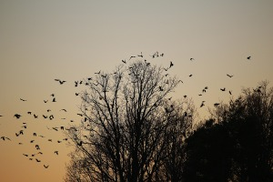 Flock of birds going toward trees